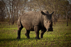 White rhino. In a short grass meadow in the Kruger National Park Royalty Free Stock Image