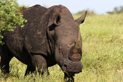 White rhino. In Kruger National Park South Africa Stock Image