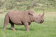 White Rhino. With raised head in Pilanesberg National Park, South Africa Stock Photography