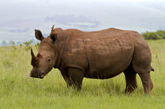 White Rhino. In grasslands with red-billed oxpecker aboard Stock Image