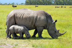 White rhino with 2 weeks calf royalty free stock photo