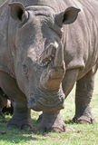 White Rhino. A white rhino showing how unhappy it is with being observed at close quarters stock photo
