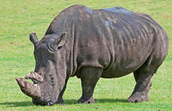 White Rhino. The White Rhinoceros or Square-lipped rhinoceros (Ceratotherium simum) is one of the five species of rhinoceros that still exist and is one of the Stock Image