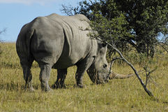 White Rhino. Grazing on a nature reserve Stock Photography