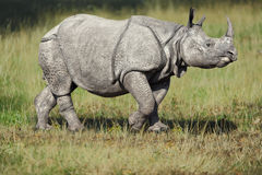 White rhino. Or rhinoceros in grass stock photos