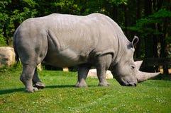 White Rhino. Great white rhino grazing on green grass stock photography