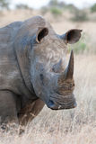 White rhino. An adult white rhino bull in the kruger national park, south africa Stock Photo