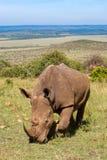 White Rhino. Young White Rhino (Ceratotherium simum). Endangered species due to poaching stock photos