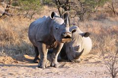 White Rhino. Adolescent white rhino yawning in the early morning stock photography
