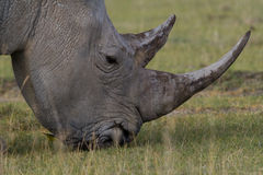 White rhino. Close-up of white rhino grazing on African plains Royalty Free Stock Photo