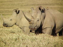 White Rhino Royalty Free Stock Photo