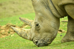 White Rhino. Head of the white rhino (ceratotherium simum) grazing, with its two horns made entirely from keratin Stock Images