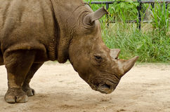 White Rhino. Was sleeping at the zoo, Thailand royalty free stock photography