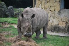 White rhino. In the nature eat hay Royalty Free Stock Photos