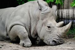 White Rhino. 's head with details of it's face Royalty Free Stock Photos