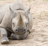 White rhino. Stock Photography