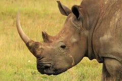 White Rhino. Close-up of a White Rhino (Ceratotherium Simum), Lake Nakuru, Kenya stock photo