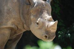 White Rhino. Amazing White Rhino poses at the St. Louis Missouri Zoo Stock Photo