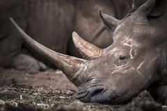 Free White Rhino Stock Photo - 32469450