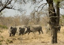 White rhino Royalty Free Stock Images