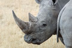 White Rhino. A White Rhinoceros, photo was taken in South Africa Royalty Free Stock Photography