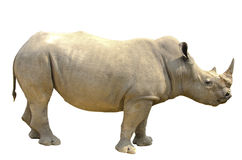 White rhino. Isolated on white background royalty free stock photos
