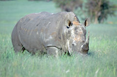White Rhino. Stock Photo