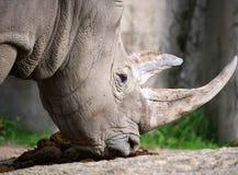 Free White Rhino Royalty Free Stock Photos - 45394018