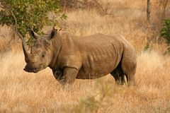 White Rhino. In the grasslands of South Africa Royalty Free Stock Image