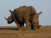 White Rhino. Rhino bull and cow back to back Royalty Free Stock Photos