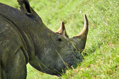 White rhino. Detail of white rhino head in NP Nakuru,Kenya Royalty Free Stock Photo