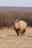 White Rhino Stock Photo
