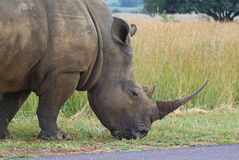White rhino. Grazing, showing off large horn Stock Image