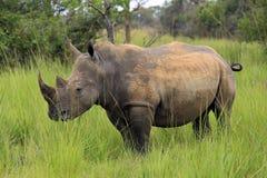 Free White Rhino Stock Photography - 84250852