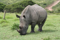White Rhino. Grazing Stock Photography