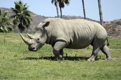 White Rhino Stock Photo