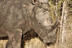 White Rhino. Adult White Rhino in Kruger Park Royalty Free Stock Photography