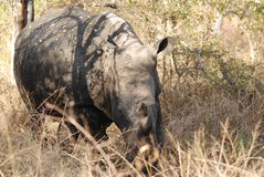 White Rhino. Adult White Rhino in Kruger Park Stock Image