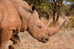 White Rhino. Adult White Rhino in Southern African savanna Royalty Free Stock Photo