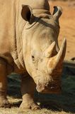 White Rhino in Africa. A White Rhinoceros close up in South Africa Royalty Free Stock Photo