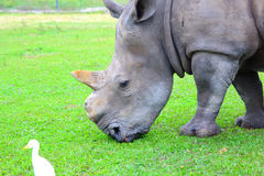 White Rhino. africa native animal. Royalty Free Stock Image