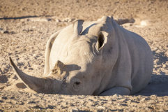 White Rhino Africa. White Rhino resting in the dirt with huge horn, in Botswana, Africa Royalty Free Stock Image