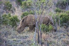 Endangered White Rhinocerous Rhino African Bush Stock Image