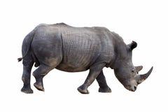 White rhino . Royalty Free Stock Images