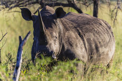 Rhino Wildlife Animal Bush Stock Image