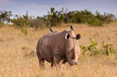 Free White Rhino And Starlings Royalty Free Stock Image - 18269886