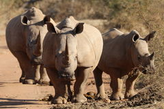 Free White Rhino At Midden Stock Photography - 97932002