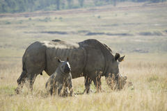 White rhino (Ceratotherium simum) with baby. A mother white rhinoceros and her young calf, South Africa stock images