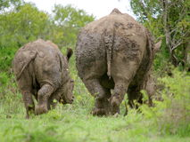 White rhino. With baby  after a mud bath Royalty Free Stock Photo