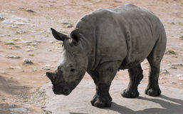 White Rhino baby. The white rhinoceros is the largest and most numerous species of rhinoceros that exists stock photography
